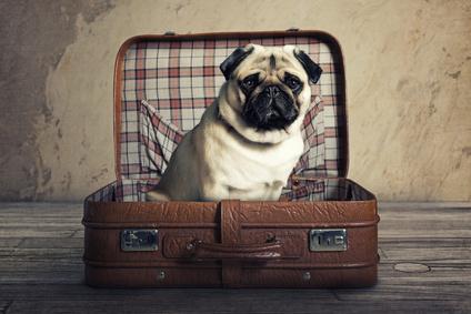 Mops in einem Koffer
